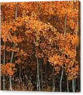 Deciduous Aspen Forest In Fall Canvas Print