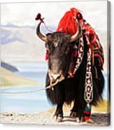 Decorated Yak At Gamta Pass Canvas Print