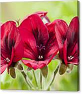 Deep Crimson Pelargonium Canvas Print