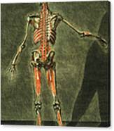 Deep Muscular System Of The Back Canvas Print