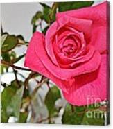 Deep Pink Rose - Summer - Rosebuds Canvas Print