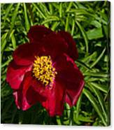Deep Red Peony With Bright Yellow Stamens  Canvas Print