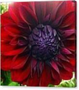 Deep Red To Purple Dahlia Flower Canvas Print