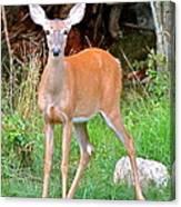 Deer 102 Canvas Print