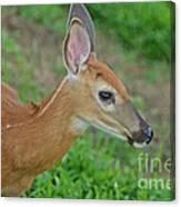 Deer 17 Canvas Print