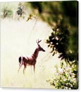 Deer 2 - Buck - White-tailed Canvas Print