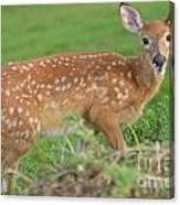 Deer 24 Canvas Print