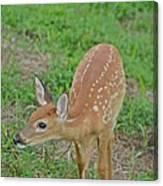 Deer 7 Canvas Print