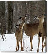 Deer Affection Canvas Print