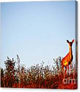 Deer At Sunset Canvas Print