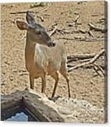Deer At Waterhole Canvas Print