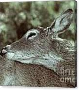 Deer Close-up Canvas Print