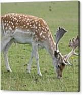 Deer Eating Canvas Print