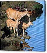 Deer Family By The Ocean At Low Tide Canvas Print