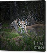 Deer Family Canvas Print