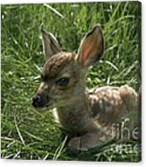 Deer Fawn Canvas Print