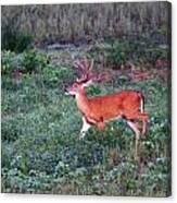 Deer-img-0113-001 Canvas Print