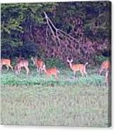 Deer-img-0128-005 Canvas Print