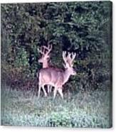 Deer-img-0177-001 Canvas Print