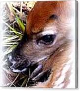 Deer-img-0349-002 Canvas Print
