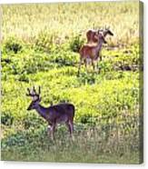 Deer - 0437-004 Canvas Print
