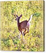Deer-img-0456-001 Canvas Print