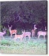 Deer-img-0470-002 Canvas Print