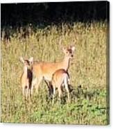Deer-img-0642-001 Canvas Print