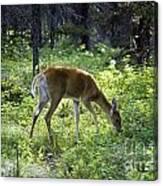 Deer In Sunlight Glen Canvas Print