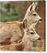Deer In The Rocky Mountains Canvas Print