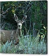 Deer Looking At You Canvas Print