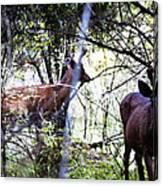 Deer Looking For Food Canvas Print