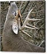 Deer Pictures 444 Canvas Print