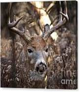 Deer Pictures 449 Canvas Print