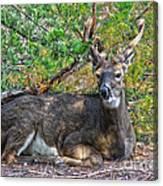 Deer Relaxing Canvas Print