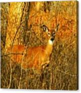 Deer Spotted In A Golden Glowing Field  Canvas Print