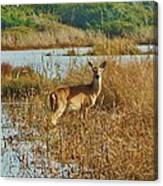 Deer The Point Hatteras Nc 2 12/5 Canvas Print