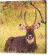 Defassa Waterbuck Kobus Ellipsiprymnus Canvas Print