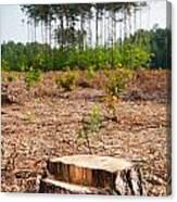 Woods Logging One Stump After Deforestation  Canvas Print