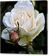 A Rose Of Delicate Beauty Canvas Print
