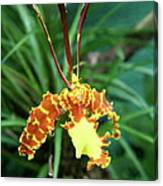 Delicate Yellow Spider Orchid Canvas Print