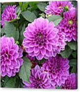 Delightful Dahlias Canvas Print