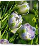 Delphinium Buds Blooming Canvas Print