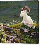 Denali Dall Sheep Canvas Print