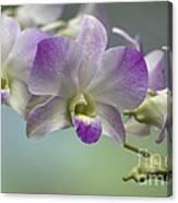 Dendrobium  6398 Canvas Print