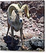 Desert Bighorn Sheep Canvas Print