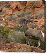 Desert Bighorn Sheep Canvas Print