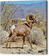 Desert Bighorn Sheep Ram At Borrego Canvas Print