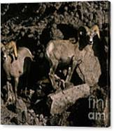 Desert Bighorns Ovis Canadensis Nelsoni Canvas Print