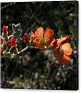 Desert Globemallow Canvas Print